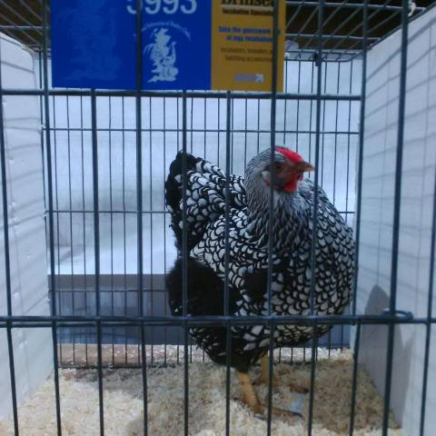 silver_laced_pullet.jpg