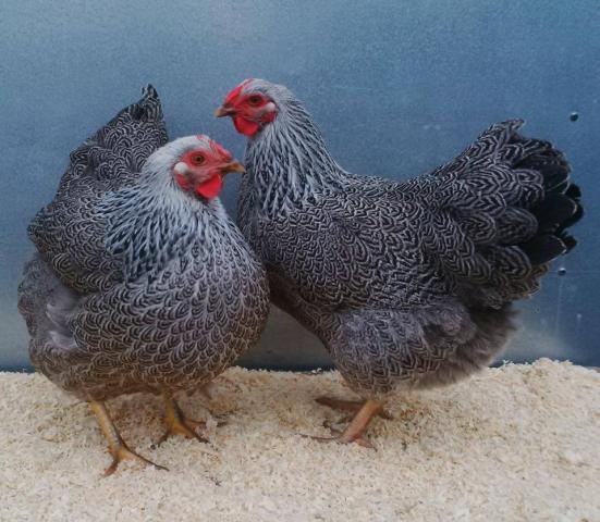 silver_pencilled_pullets.jpg